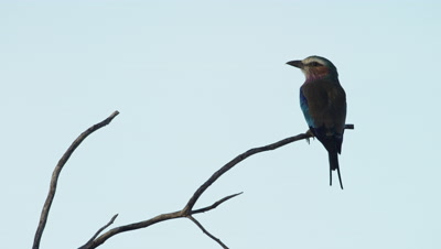 Lilac-breasted Roller - sitting on branch