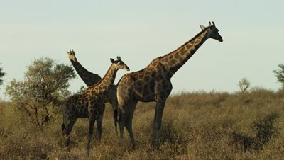 Giraffe - herd with baby