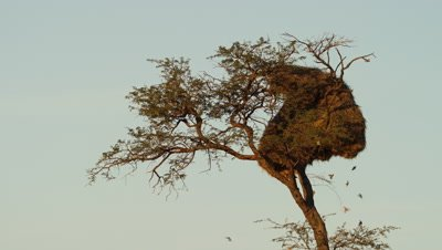 Sociable Weaver - birds entering and leaving nest,medium