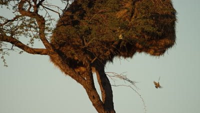 Sociable Weaver - birds entering and leaving nest,close