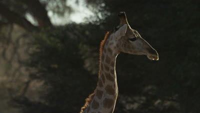 Giraffe - head against tree,backlit