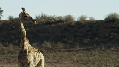 Giraffe - standing,looking to right of frame