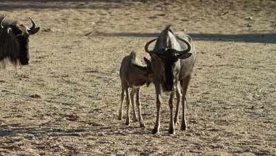 Blue Wildebeest - calf following mother,trying to suckle