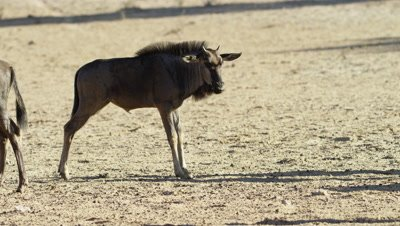 Blue Wildebeest - baby licking itself