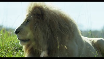 White Lion - face from side,medium shot