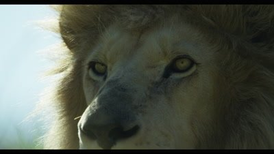 White Lion - face from side,turns toward camera,extra close