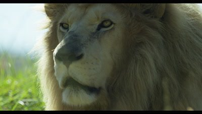 White Lion - face from side,turns toward camera,close up