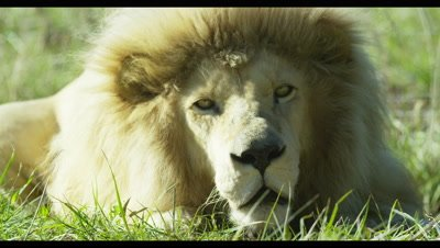White Lion - resting in grass