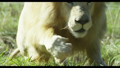 White Lion - lying down then leaps up