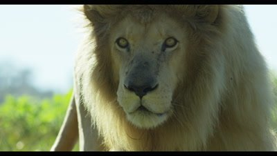 White Lion - walking toward camera,close up