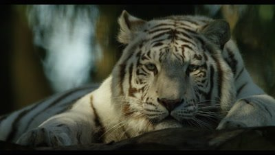 White Tiger - lying down in forest,close shot