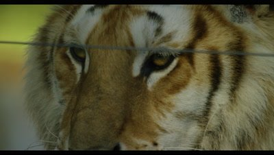 Tiger - face behind wire,close up