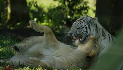 White Tiger - play fighting with lion