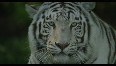 White Tiger - lying on grass,shakes head looks at camera,close