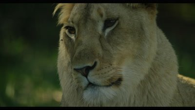 Lion - female,close up of face
