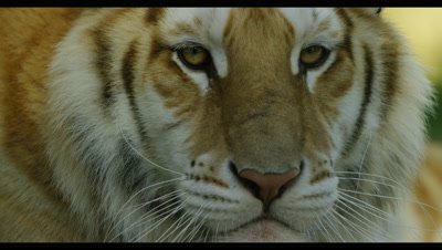 Tiger - face from side,turns to camera,close up