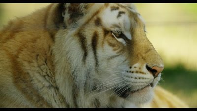 Tiger - face from side,close up