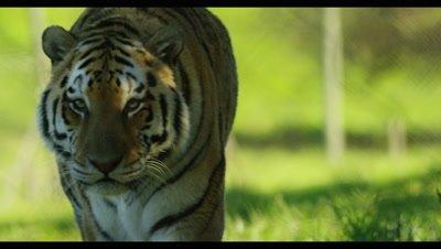 Tiger - walking toward camera