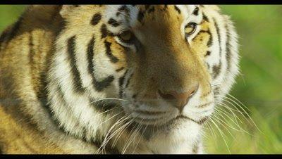 Tiger - face looking at camera,close up
