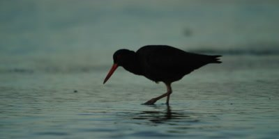African Oystercatcher - feeding in estuary,eating sandworms,wide