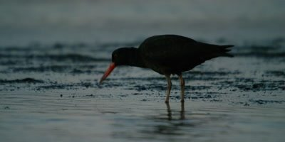 African Oystercatcher - feeding in estuary,eating sandworms,fast