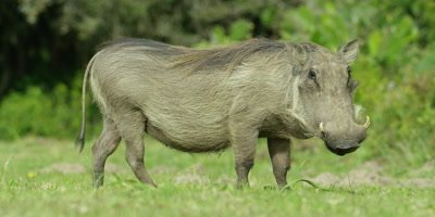 Warthog - looking at camera,then eating,side view