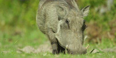 Warthog - grazing,from front,close up,tail swinging
