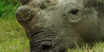 White Rhino - lying down,extra close of head,dehorned 2