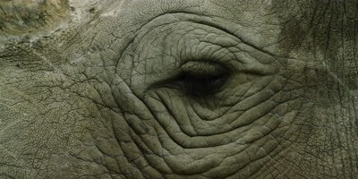 White Rhino - eye,close shot