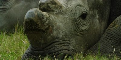 White Rhino - lying down,close of head,dehorned