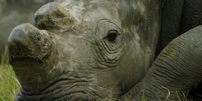 White Rhino - lying down,close of head,dehorned 2
