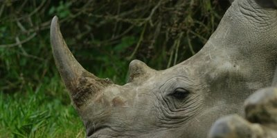 White Rhino - lying down,close of head and horn