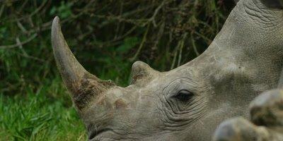 Rhino in the Eastern Cape