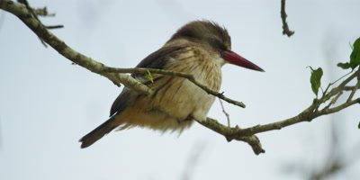 Brown-hooded Kingfisher - perched in tree,close