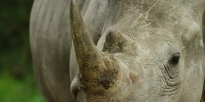White Rhino - close of head from front