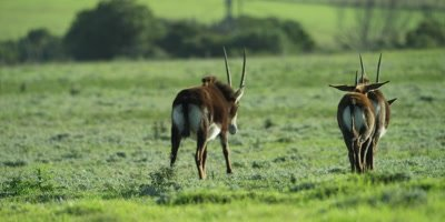 Sable Antelope - herd walking away