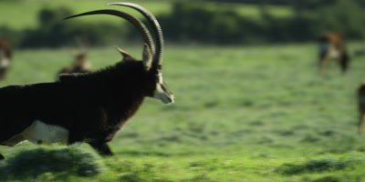Sable Antelope - large male gets fright and runs away