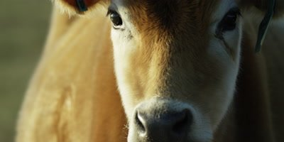 Brown Cow - close up of face,turns to right