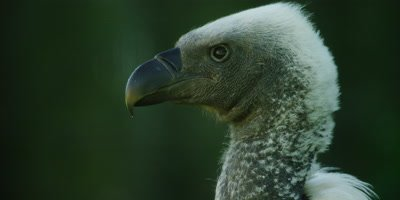 African White-backed Vulture - close up looking to left
