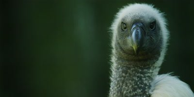 African White-backed Vulture - close up,turns to look at camera