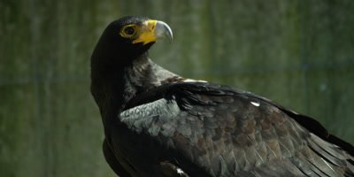 Verreaux's Eagle or Black Eagle - turns head,one eye missing