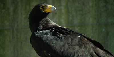 Verreaux's Eagle or Black Eagle - looking around