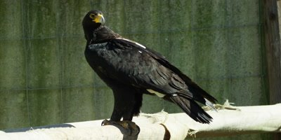 Verreaux's Eagle or Black Eagle - looking around,perched,wide