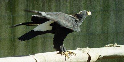 Verreaux's Eagle or Black Eagle - turns then flies away