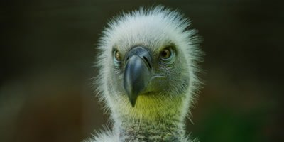 Cape Vulture - close up looking at camera