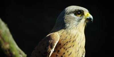 Rock Kestrel - turns away from camera