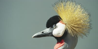 Grey Crowned Crane - close up of head 2