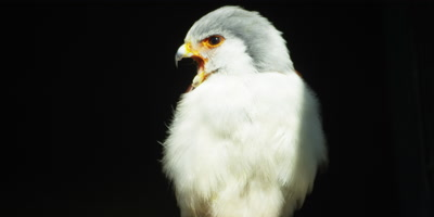 Pygmy Falcon - perched on branch,calling,close shot
