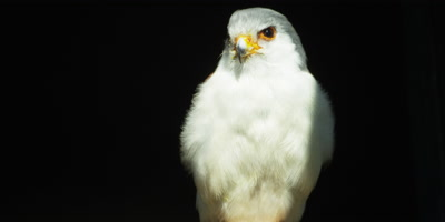 Pygmy Falcon - perched on branch looking around,close shot