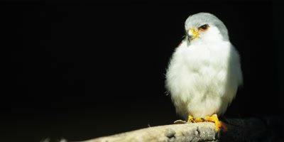 Pygmy Falcon - perched on branch looking around,medium